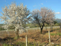 C/da Margana - Mandorli in fiore - 19 febbraio 2006   - Calatafimi segesta (3073 clic)