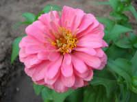 zinnia del nostro giardino - 26 luglio 2006  - Alcamo (1125 clic)