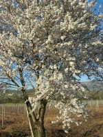 C/da Margana - Mandorlo in fiore - 19 febbraio 2006   - Calatafimi segesta (1980 clic)
