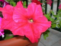 petunie del nostro giardino - 26 luglio 2006  - Alcamo (1201 clic)