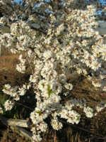 C/da Margana - Mandorlo in fiore (particolare) - 19 febbraio 2006   - Calatafimi segesta (1809 clic)