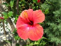 fiore di ibisco rosso del nostro giardino - 29 luglio 2006  - Alcamo (1226 clic)