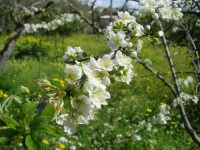 fiori di susino - 25 marzo 2007  - Alcamo (1290 clic)