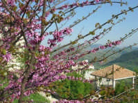 panorama fiorito - 23 aprile 2006  - Prizzi (2882 clic)