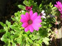 margherite del nostro giardino - 24 aprile 2006  - Alcamo (1254 clic)