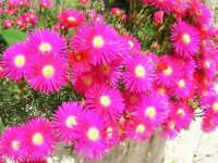 fiori del nostro giardino - 24 aprile 2006  - Alcamo (1088 clic)