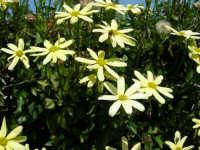 margherite del nostro giardino: un'ape sugge il nettare ed una mosca prende il sole! - 24 aprile 2006  - Alcamo (1359 clic)
