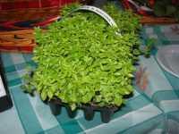I.C. Pascoli - Progetto PON - per una corretta alimentazione - basilico - 20 maggio 2009  - Castellammare del golfo (2545 clic)