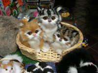 esposizione di gattini di peluche - 25 aprile 2006   - Erice (1708 clic)