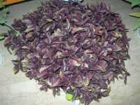 I.C. Pascoli - Progetto PON - per una corretta alimentazione - basilico - 20 maggio 2009  - Castellammare del golfo (3331 clic)