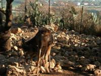 Animali ospiti dello Zoo Fattoria: madre allatta il suo cucciolo - 15 luglio 2005  - Terrasini (3172 clic)