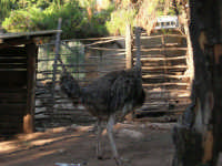Animali ospiti dello Zoo Fattoria: struzzo - 15 luglio 2005  - Terrasini (3307 clic)