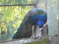 Animali ospiti dello Zoo Fattoria: pavone - 15 luglio 2005  - Terrasini (2860 clic)