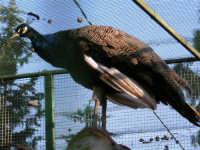 Animali ospiti dello Zoo Fattoria: pavone - 15 luglio 2005  - Terrasini (2087 clic)