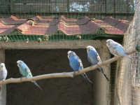 Animali ospiti dello Zoo Fattoria: pappagallini - 15 luglio 2005  - Terrasini (3242 clic)