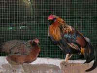 Animali ospiti dello Zoo Fattoria: gallo e gallina - 15 luglio 2005  - Terrasini (11273 clic)