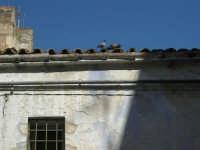 Via Ten. Caravaglios - corteggiamento sul tetto di una vecchia casa - 17 luglio 2007  - Alcamo (790 clic)