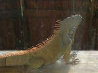Animali ospiti dello Zoo Fattoria: iguana - 15 luglio 2005  - Terrasini (2047 clic)