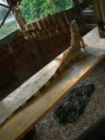 Animali ospiti dello Zoo Fattoria: iguana - 15 luglio 2005  - Terrasini (2724 clic)