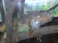 Animali ospiti dello Zoo Fattoria: iguana - 15 luglio 2005  - Terrasini (1749 clic)