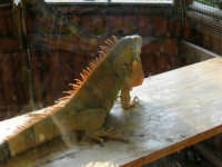 Animali ospiti dello Zoo Fattoria: iguana - 15 luglio 2005  - Terrasini (1673 clic)