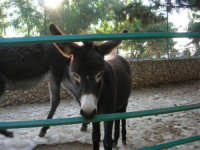 Animali ospiti dello Zoo Fattoria: asini - 15 luglio 2005  - Terrasini (2089 clic)