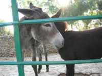 Animali ospiti dello Zoo Fattoria: asini - 15 luglio 2005  - Terrasini (1829 clic)