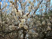 Albicocco in fiore nel giardino dell'I.C. G. Pascoli - 10 marzo 2006   - Castellammare del golfo (1272 clic)