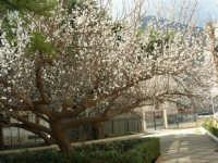 Albicocco in fiore nel giardino dell'I.C. G. Pascoli - 10 marzo 2006   - Castellammare del golfo (1567 clic)