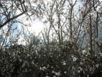 Albicocco in fiore nel giardino dell'I.C. G. Pascoli - 10 marzo 2006   - Castellammare del golfo (1375 clic)