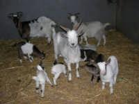 C.da Valle Nuccio - Visita al maneggio de Lo Sperone - Le capre - 19 febbraio 2006   - Alcamo (1239 clic)