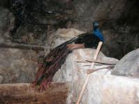 Il Presepe Vivente di Custonaci nella grotta preistorica di Scurati (grotta Mangiapane) (215) - 26 dicembre 2007   - Custonaci (975 clic)