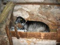 Il Presepe Vivente di Custonaci nella grotta preistorica di Scurati (grotta Mangiapane) (217) - 26 dicembre 2007   - Custonaci (1097 clic)