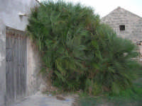 spettacolare giummara (palma nana): ha raggiunto il tetto della vecchia casa abbandonata, che la protegge dai venti di tramontana - 8 ottobre 2006  - Marausa (4836 clic)