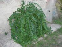 nata dal cemento! Pianta di Cappero addossata al muro di una vecchia casa di campagna - 8 ottobre 2006  - Marausa (2465 clic)