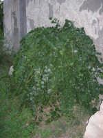pianta di Cappero addossata al muro di una vecchia casa di campagna - 8 ottobre 2006  - Marausa (2985 clic)