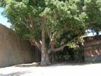 Alberi di un giardino prima nascosto e reso visibile  con i lavori in vista dell'appuntamento con l'America's Cup - 2 ottobre 2005   - Trapani (1631 clic)