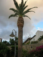 palma nel giardino del Santuario di Maria SS. dei Miracoli - 3 giugno 2006  - Alcamo (1087 clic)