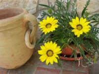 margherite del nostro giardino - 4 maggio 2006  - Alcamo (1115 clic)