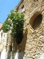 via Mangiarotti - incredibile: dal muro di una vecchia casa è nata una ficara! - 17 luglio 2007  - Alcamo (877 clic)