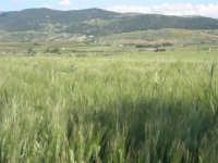 campo di grano sulla strada che porta a Sambuca di Sicilia - 25 aprile 2008   - Sambuca di sicilia (1839 clic)