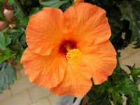fiore di ibisco del nostro giardino - 4 maggio 2006  - Alcamo (1270 clic)