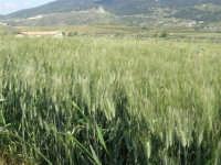 campo di grano sulla strada che porta a Sambuca di Sicilia - 25 aprile 2008   - Sambuca di sicilia (1660 clic)