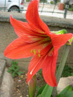 fiore del nostro giardino - 4 maggio 2006  - Alcamo (1112 clic)