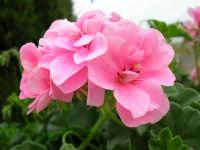 geranio del nostro giardino - 4 maggio 2006  - Alcamo (1244 clic)