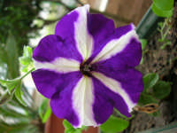 petunia del nostro giardino - 4 maggio 2006  - Alcamo (1130 clic)
