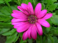 margheritona del nostro giardino - 4 maggio 2006  - Alcamo (1261 clic)