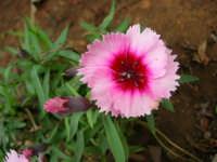 garofanino del nostro giardino - 4 maggio 2006  - Alcamo (1505 clic)