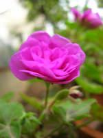 geranio del nostro giardino - 4 maggio 2006  - Alcamo (1228 clic)