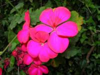geranio del nostro giardino - 4 maggio 2006  - Alcamo (1147 clic)